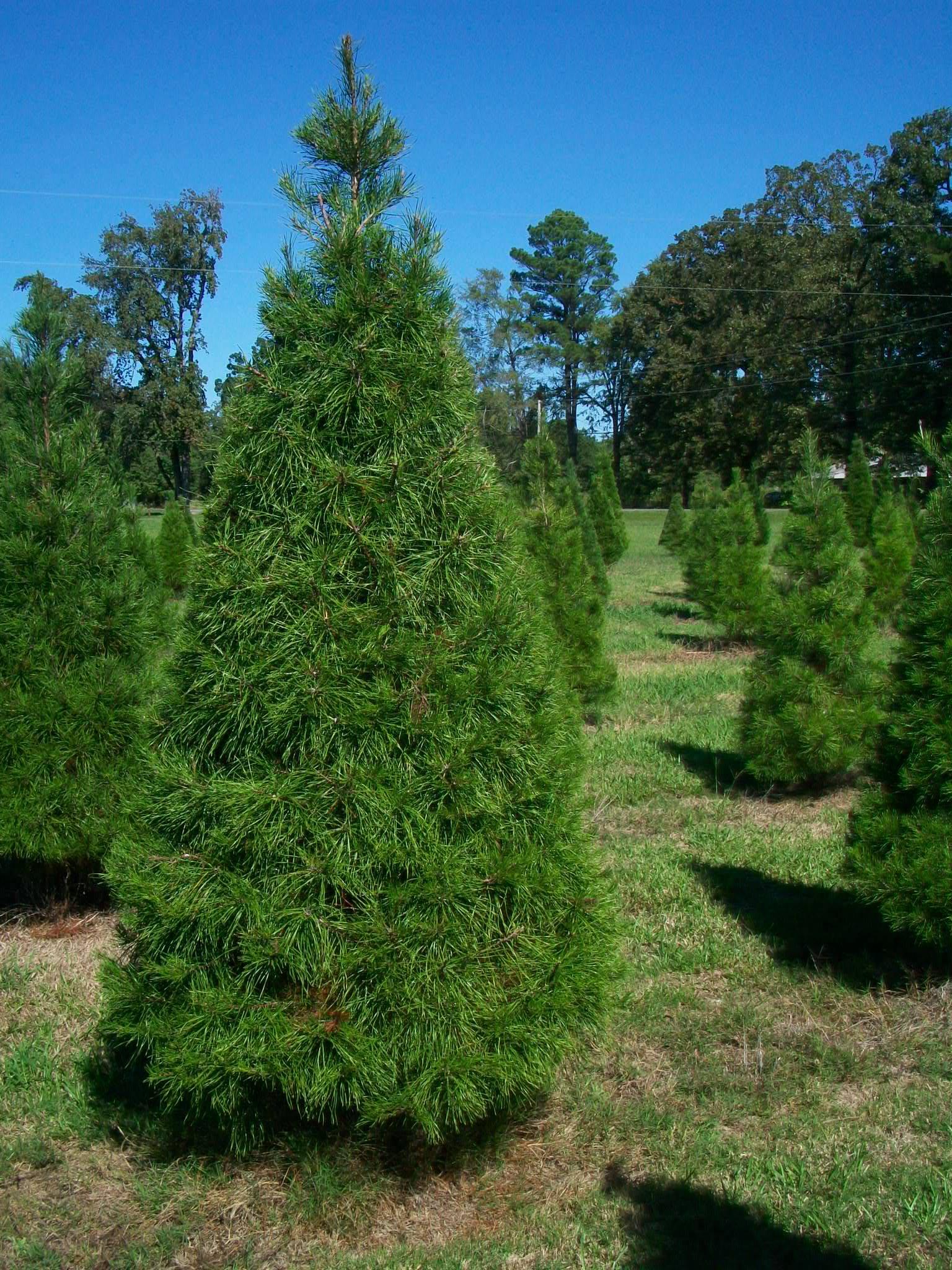 Hughes christmas tree farm 5501 linton cutoff road benton la 71006
